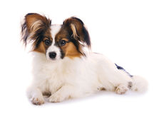 Young papillon Stock Photo