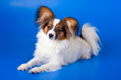 Young papillon. The young papillon on a blue background royalty free stock images