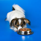 Young papillon. And a bowl with meal stock photo