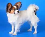 Free Young Papillon Royalty Free Stock Photo - 9189415