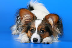 Young papillon. The young papillon on a blue background royalty free stock photo
