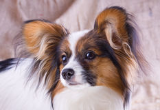 Free Young Papillon Stock Photo - 9189690