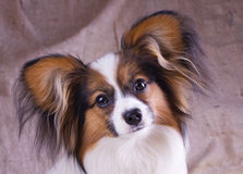 Young papillon. The young papillon on a sacking background royalty free stock photography