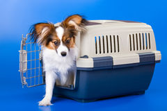 Young papillon Stock Images