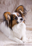 Young papillon. The young papillon on a sacking background stock images