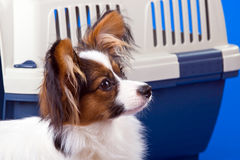 Young papillon Royalty Free Stock Photo