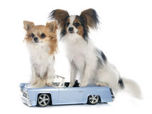 Young papillon and chihuahua Stock Photos