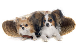 Young papillon and chihuahua Royalty Free Stock Photography