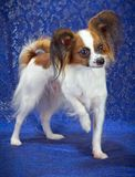 Young Papillon Dog Stock Images