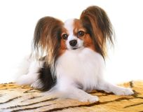 Young papillon dog. In front of white background stock image