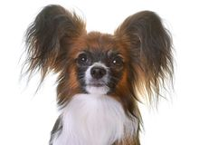 Young papillon dog. In front of white background royalty free stock image