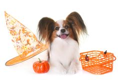 Young papillon dog and halloween. In front of white background Stock Image