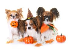 Young papillon dogs, chihuahua and halloween. In front of white background royalty free stock photography