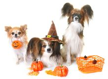 Young papillon dogs, chihuahua and halloween. In front of white background royalty free stock images