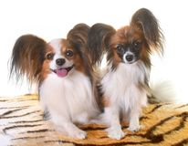 Young papillon dogs. In front of white background stock image
