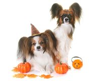 Young papillon dogs and halloween. In front of white background Royalty Free Stock Images