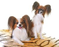 Young papillon dogs. In front of white background stock photo