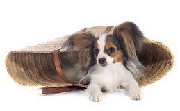 Young papillon. In front of white background stock image