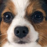 Young papillon Stock Image
