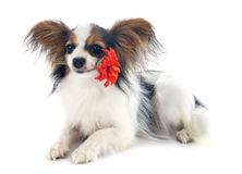 Young papillon. In front of white background Royalty Free Stock Photography