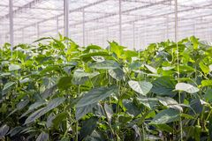 Young paprika plants in a Dutch greenhouse. Young paprika plants in a large nursery. The plants grow along crop wires. A mature plant will be 4 meters long Stock Photography
