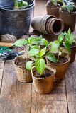 Young paprika seedling sprouts in the peat pots. Gardening concept stock photography