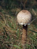 Young parasol mushroom Stock Photo