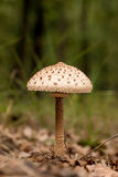 Young Parasol mushroom Stock Image