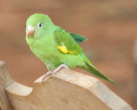 Young Parrot Baby. A young parrot sitting on a back of a chair Royalty Free Stock Photography