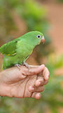 Young Parrot On Hand. A young parrot sitting on a hand Stock Photos