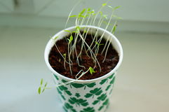 Young parsley Stock Photography