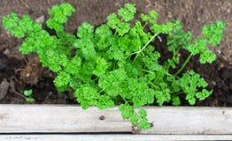 Young parsley seedlings. Stock Photo