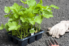 Young Parsnip Plants Stock Photo