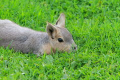 A young Patagonian mara Royalty Free Stock Photo