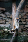 Young Patas monkey eating something Royalty Free Stock Images