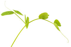 Young pea plant Stock Photo
