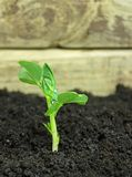 Young pea plant. Pea sprout growing in soil stock image