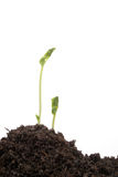 Young pea seedlings. In soil against a white background Stock Photos