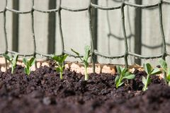 Young pea shoots Royalty Free Stock Photos