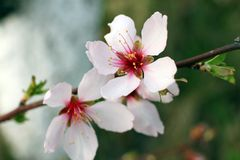 Young peach branch with spring flowers macro Royalty Free Stock Image