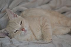 A young cat of peach color is lying on the bed stock images