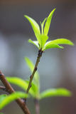 Young peach leaves close-up Stock Photo