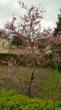 Young Peach Tree In Flower In Garden Royalty Free Stock Photography