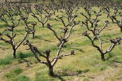 Young peach trees Royalty Free Stock Images