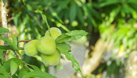 Young peaches fruits Stock Images