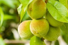 Young Peaches On A Tree Branch Royalty Free Stock Image