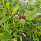 Young peaches on tree branches. Closeup, fruit, healthy, sweet, season, early, leaves, summer, farm, bottle, canning, backyard, prune, garden, agriculture royalty free stock image