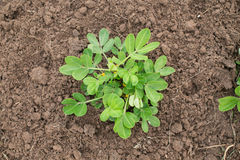 Young peanut plant at a local farm Royalty Free Stock Images