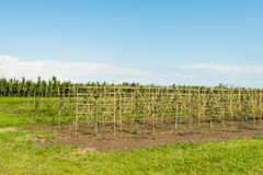 Young pear espaliers in a horticulture. Tree nursery with young fruit trees in the summer season Stock Image