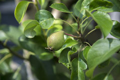 Young pear fruit on tree. Close up of immature pear fruit growing on leafy tree branch Royalty Free Stock Photography